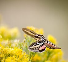 Sphinx Moth.2 - Great Sand Dunes National Park, Colorado by Jason Heritage
