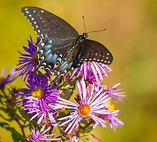 Black Swallowtail on Aster Flower 2 by Thomas Young
