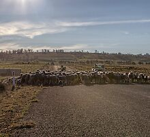 Sheep Crossing by yolanda