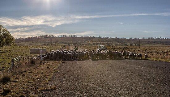 Sheep Crossing by yolanda