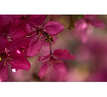 Bee Pink Photographic Print