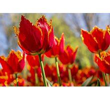 Sunrise Tulip Photographic Print