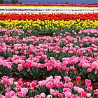 Rows of Tulips  by Sammy-Joy