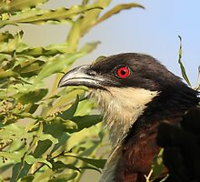 A Coppery Tailed Coucal by jozi1