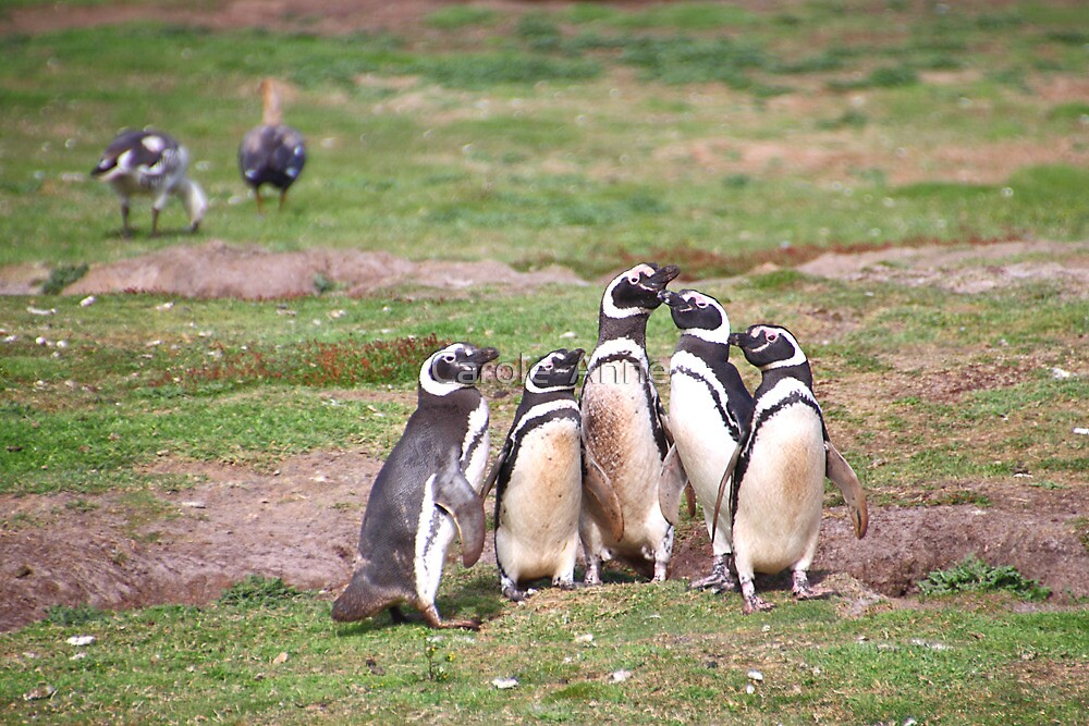 Magellanic Penguins Near Their Nesting Burrows by Carole-Anne