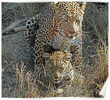 Mating Leopards ! Poster