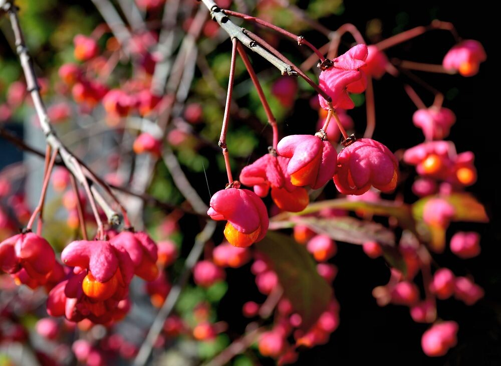 Pink and Orange October Fruits by ivDAnu