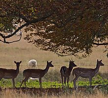 Fallow Deer by John Thurgood