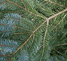 blue spruce by arteology