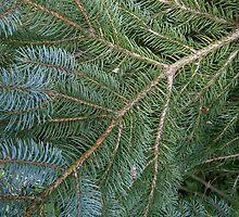 blue spruce by arteology