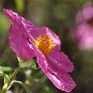 Desert Rose by Joy Watson