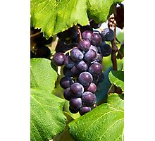 Cluster of Purple Grapes on the Vine Photographic Print