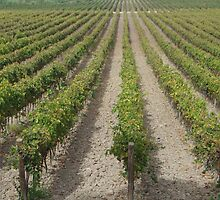 Vineyard Perspective - Sicily by Francis Drake