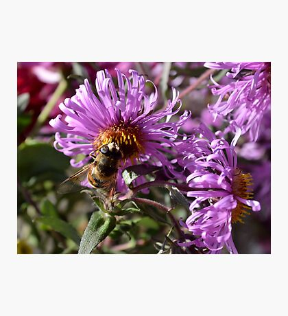 Busy Bee on a Violet Flower Photographic Print