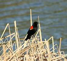 Red Winged Blackbird Perched on Marsh Grass by rhamm