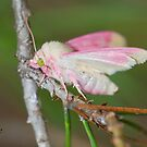 Primrose Moth by DigitallyStill
