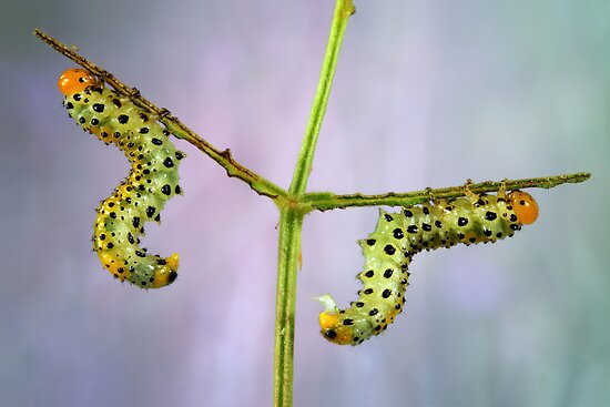 Sawfly larvas by jimmy hoffman