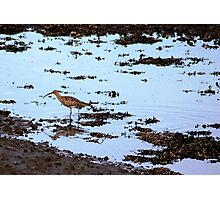 Alnmouth Curlew Photographic Print
