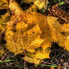 Just Cool Off ~ Maple Leaves ~ by Charles & Patricia   Harkins ~ Picture Oregon