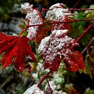 That Frost Me ~ Vine Maple Leaves ~ by Charles & Patricia   Harkins ~ Picture Oregon