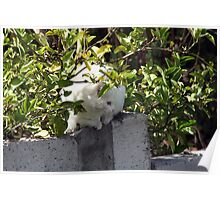 White Cat on a Fence Poster