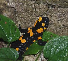 Fire Salamander on Rock 2 by jojobob