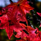 Just One Of The Group ~ Leaves Fall Colors ~ by Charles & Patricia   Harkins ~ Picture Oregon