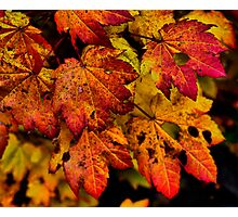 A Real Knockout ~ Leaves Fall Colors ~ Photographic Print