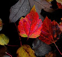 Just Little Old Me ~ Leaves Fall Colors ~ by Charles & Patricia   Harkins ~ Picture Oregon