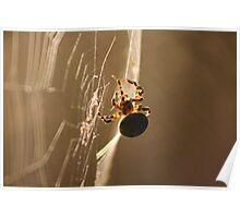 Garden Spider On Web Poster