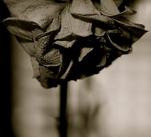 dead rose. by harryvw