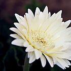 Gerbera Daisy by Nalin Solis