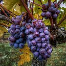 In Groups Of Three ~ Grapes ~ by Charles & Patricia   Harkins ~ Picture Oregon