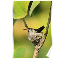 Hummingbird Sitting On Eggs Poster