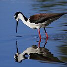 Black Necked Stilt Reflecting by DARRIN ALDRIDGE
