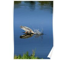 Great Blue Heron Making A Splash Poster