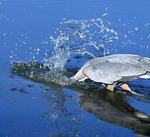 Great Blue Heron Diving For Fish by DARRIN ALDRIDGE