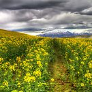 Fields of Yellow by Robyn Carter