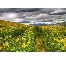 Fields of Yellow Photographic Print