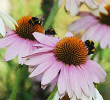 Echinacea Purpurea with Bees 6 by jojobob