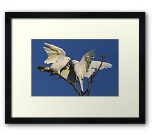 Cocky Cantankerous Framed Print