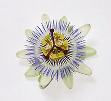Isolated Bluecrown Passiflora by jojobob