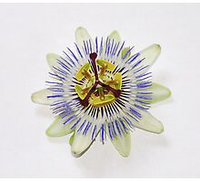 Isolated Bluecrown Passiflora Photographic Print