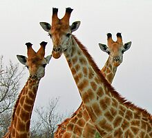 A Tall Trio !! by jozi1