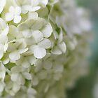 White Hydrangea by DCarlier