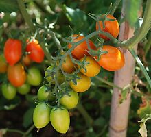 Date Tomatoes Ripening on Vine by jojobob