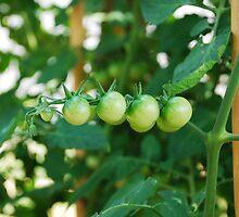 Green Tomatoes on the Vine by jojobob