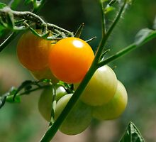 Orange Tomatoes Ripening on the Vine by jojobob
