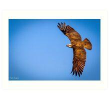 Osprey of the Sunshine Coast  Art Print