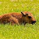 Bison Calf by Michael Cummings